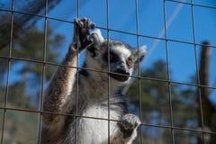 Ring-angebundener Affe oder Maki Catta Stockbilder
