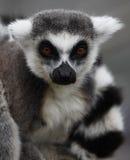 Ring angebundener Lemur Lizenzfreie Stockbilder