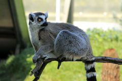 Ring angebundener Lemur Lizenzfreie Stockfotos