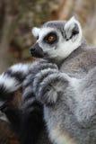 Ring angebundener Lemur, der im Baum stillsteht Stockfotografie