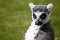 Ring angebundener Lemur mit einem komischen Ausdruck Lizenzfreie Stockfotografie