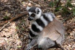 Ring angebundener Lemur (mit Heckschal) Lizenzfreies Stockbild