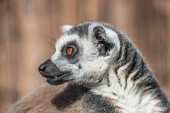 Ring-angebundener Madagaskar-Maki, der an der Sonne aufwärmt Stockfoto