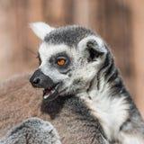 Ring-angebundener Madagaskar-Maki, der an der Sonne aufwärmt Lizenzfreie Stockfotos