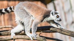 Ring-angebundener Madagaskar-Maki, der an der Sonne aufwärmt Stockbilder