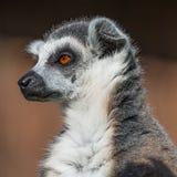 Ring-angebundener Madagaskar-Maki, der an der Sonne aufwärmt Lizenzfreies Stockbild
