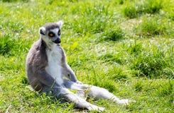 Ring angebundener Maki, der auf dem Gras sitzt Lizenzfreies Stockfoto