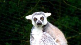 Ring angebundener Maki in einem Zoo stock video