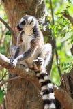 Ring angebundener Maki Madagaskar stockfoto