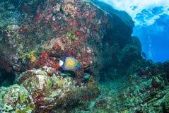 Ring Angelfish. In the ocean Stock Image