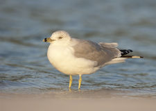 Ring-bill Gull Stock Photo