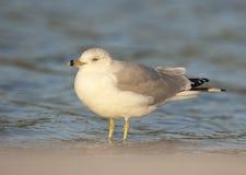 Ring-bill Gull Stock Photo