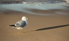 Ring Bill Gull på stranden på solnedgången Lake Michigan royaltyfria foton