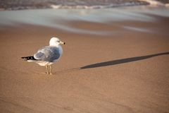 Ring Bill Gull taking a walk stock images