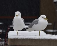 Ring Bill Gulls in het Sneeuwonweer stock foto