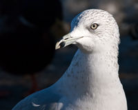 Ring Bill Seagull Closeup head shot Stock Images