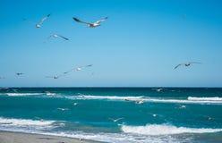 Ring Billed fiskmåsar i flykten över vågorna Arkivbilder