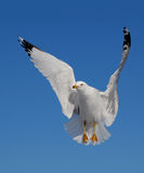 Ring billed gull Stock Images