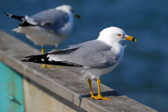 Ring Billed Gull. A ring billed gull stands on a pier railing royalty free stock photography