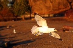 Ring-billed Gull. In Flight In Morning Sun stock image