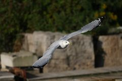Ring-billed Gull Royalty Free Stock Photos