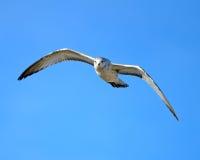 Ring-billed Gull. In Flight Against Blue Sky Stock Photo