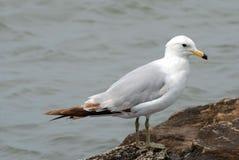 Ring Billed Gull. Image of mature ring billed gull on lake ontario Royalty Free Stock Photos