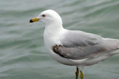 Ring Billed Gull. Image of mature ring billed gull on lake ontario Royalty Free Stock Images