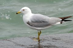 Ring Billed Gull. Image of mature ring billed gull on lake ontario Stock Photo