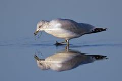 Ring-billed Gull. (Delawarensis larus) foraging in blue water Royalty Free Stock Photo