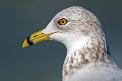 Ring-billed Gull Royalty Free Stock Image