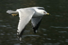 Ring-billed Gull. A Ring-billed Gull in flight Stock Image