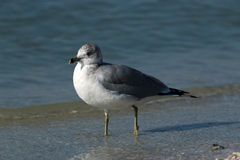 Ring Billed Gull image stock