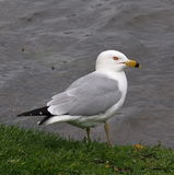 Ring Billed Gull Royalty-vrije Stock Afbeelding