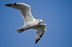 Ring-Billed Gull Royalty Free Stock Photography