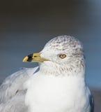 Ring Billed Gull Fotografía de archivo