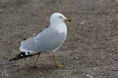 Ring-billed Gull Royalty Free Stock Photo