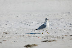 Ring-billed gull on beach.  Royalty Free Stock Photo