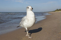 Ring-billed Gull at the Beach royalty free stock image