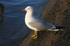 Ring-billed Gull On Beach In Morning Sun.  Stock Image