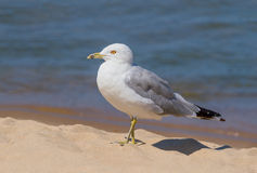 Ring-billed Gull on Beach. A ring-billed seagull walk on the sand near the water's edge Royalty Free Stock Photos