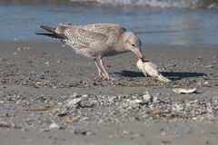 Ring Billed Gull. Brown Ringed Bill Gull Eating A fish catch on Galveston Beach Stock Photo