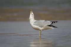 Ring-billed Gull Calling. Ring-billed Gull (Larus delawarensis) calling with its bill pointed to the sky - Lake Huron, Ontario, Canada Royalty Free Stock Image