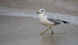 Ring Billed Gull immagine stock libera da diritti