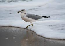 Ring Billed Gull fotografia stock libera da diritti