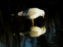 Ring Billed Gull Curiously Looking alla sua riflessione fotografie stock