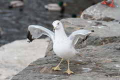 Ring-billed Gull Dancing On The Rocks Royalty Free Stock Photos