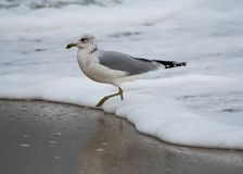 Ring Billed Gull royalty-vrije stock fotografie