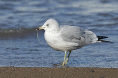 Ring-billed Gull Eating a Worm on a Lake Huron Beach Stock Photos