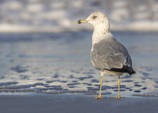 Ring-billed Gull at the Edge of a Beach - Florida Stock Photography